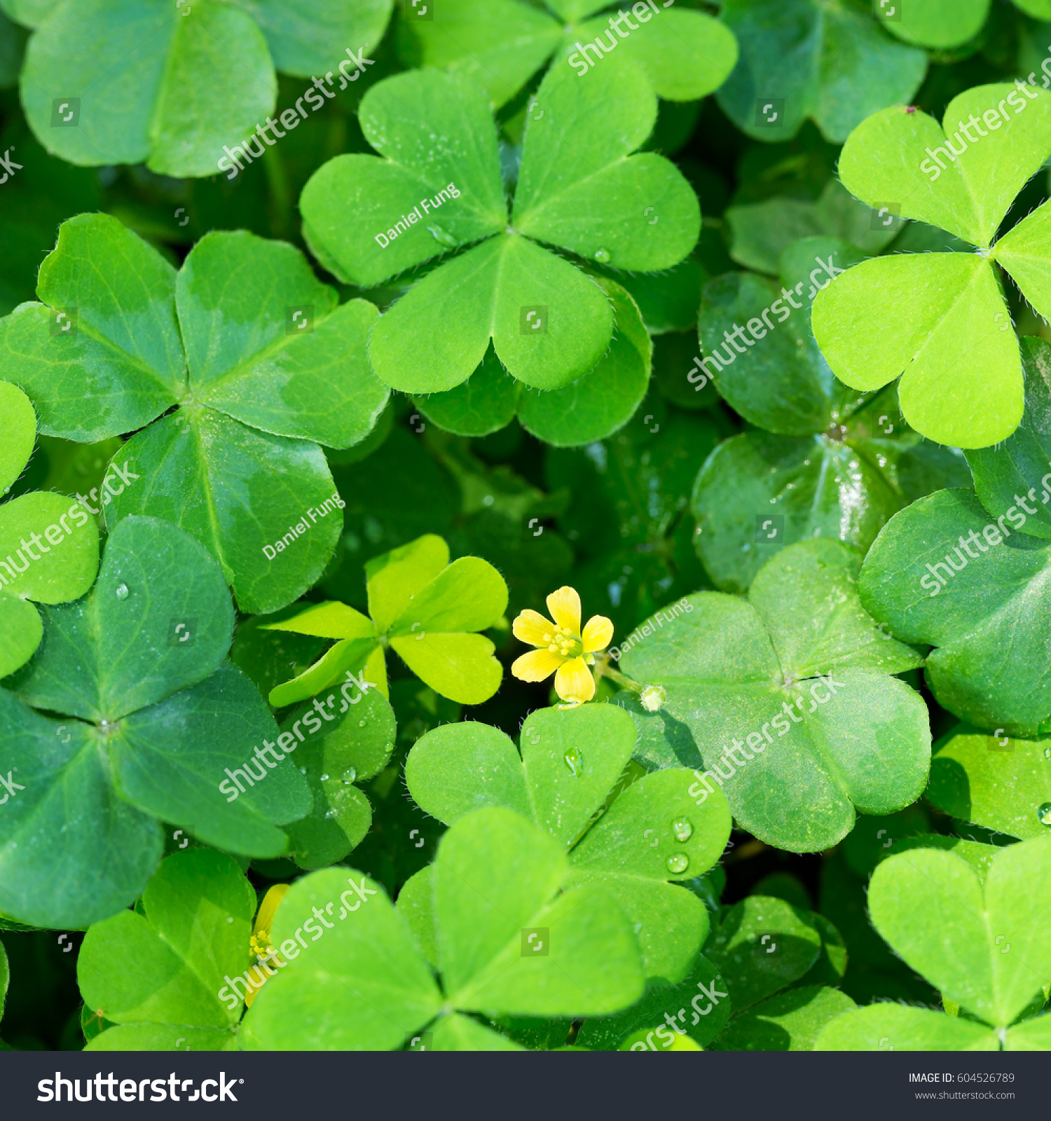 Clover Little Yellow Flower Stock Photo Royalty Free 604526789