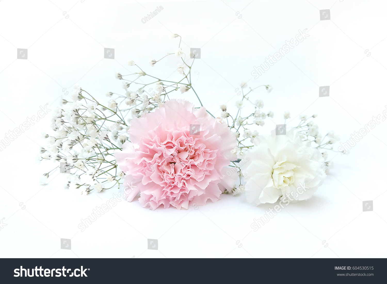 Pink Carnation Flower Isolated On White Background Shallow Depth Of
