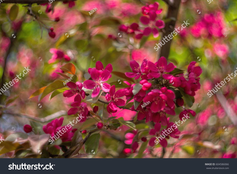 Pink Flowers On An Apple Tree Spring Flowering Apple Trees Ez Canvas