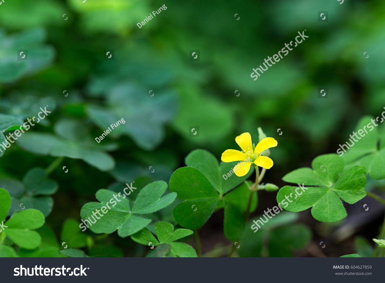 Clover Little Yellow Flower Stock Photo Edit Now 604627859