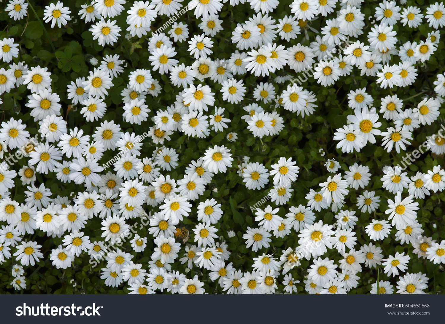 Overview Field Wild Daisies Bed White Stock Photo Edit Now