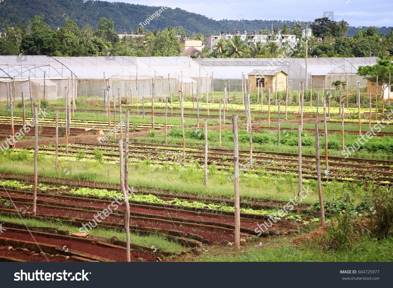stock-photo-agriculture-in-cuba-greenhou