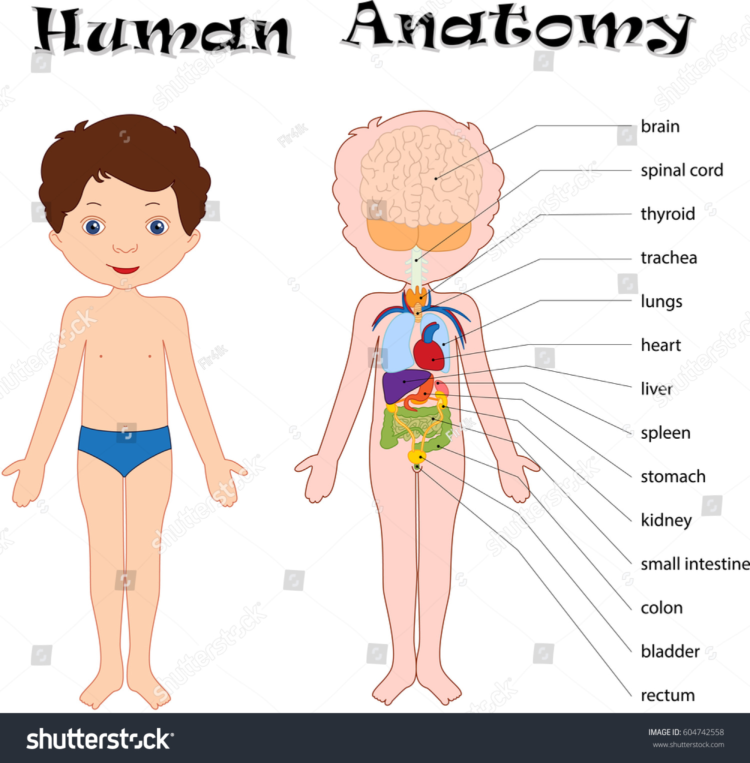 Boy Unclothed Isolated On White Human Stock Illustration 604742558 ...