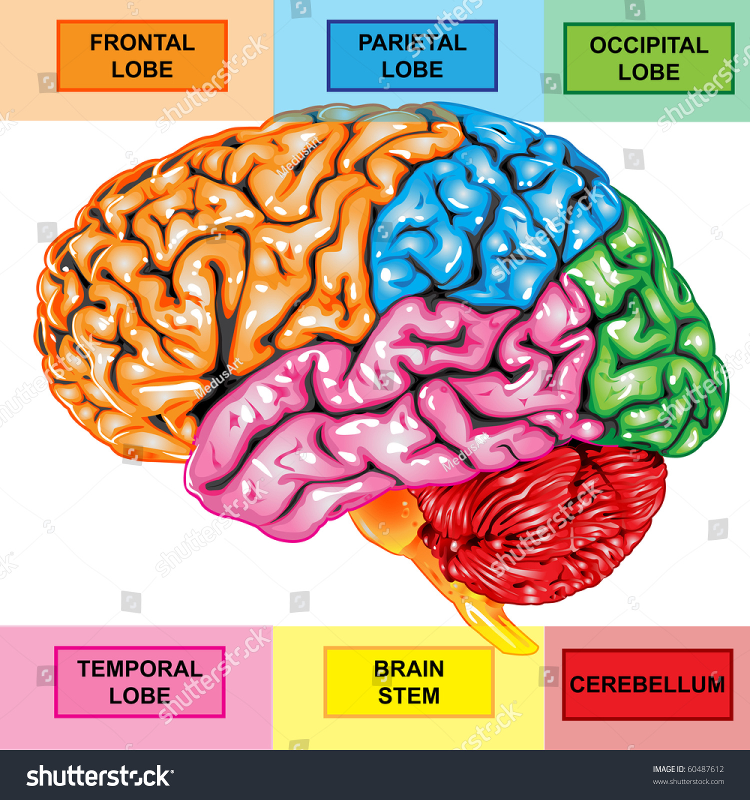 Human Brain Lateral View Stock Illustration 60487612 - Shutterstock