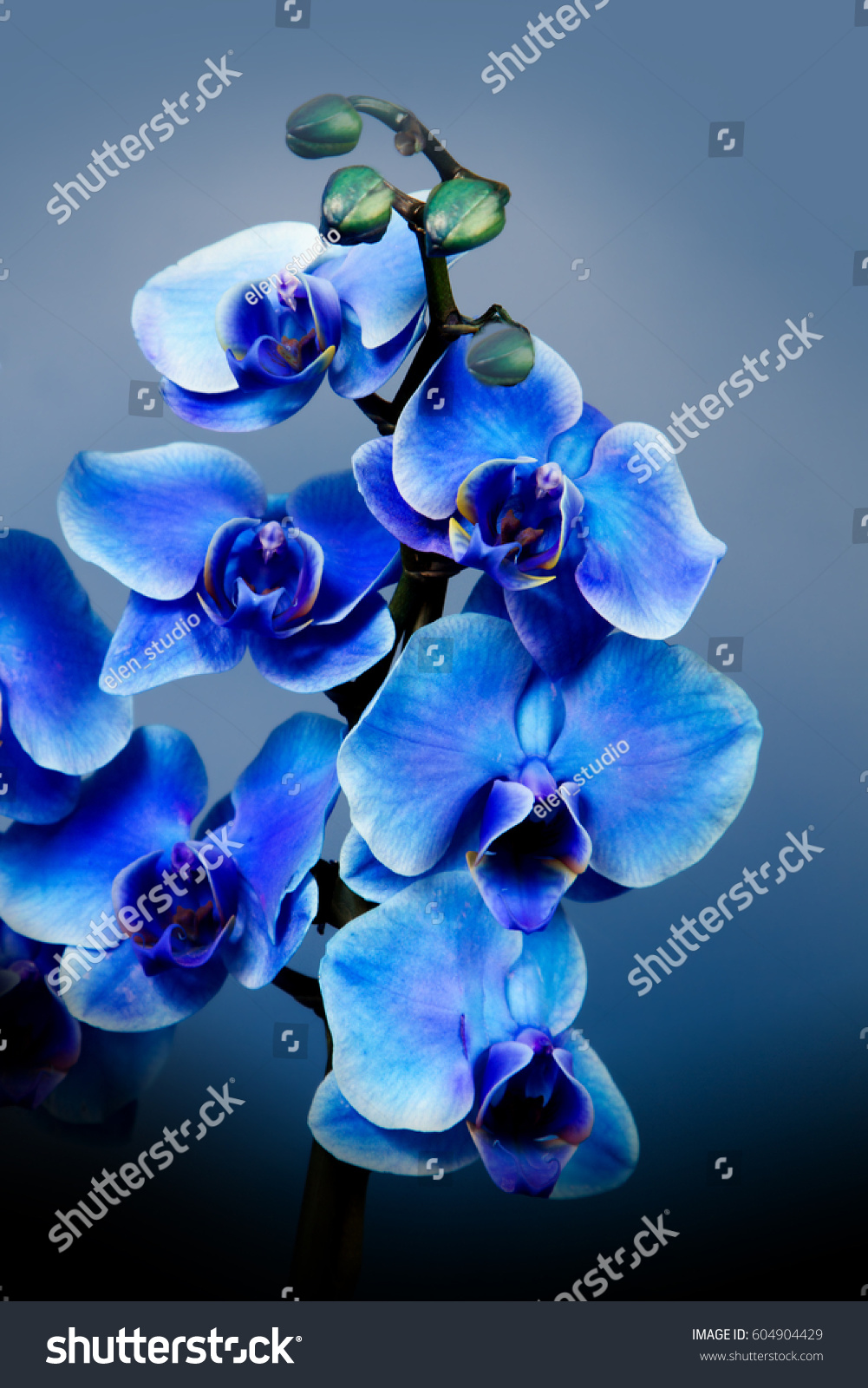 Beautiful Flowers Garden Blue Orchid Phalaenopsis Stock Photo Edit