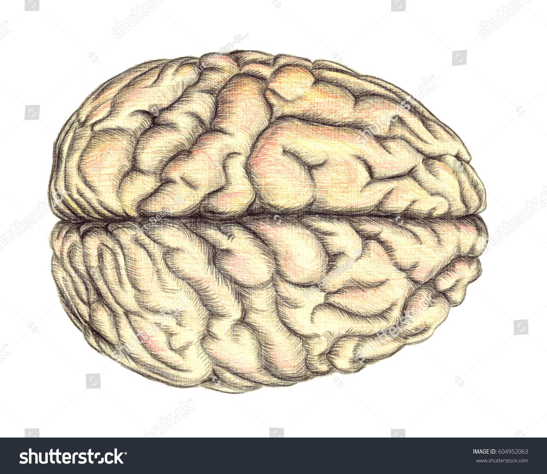 Human Brain View Above Hand Drawn Stock Illustration ...
