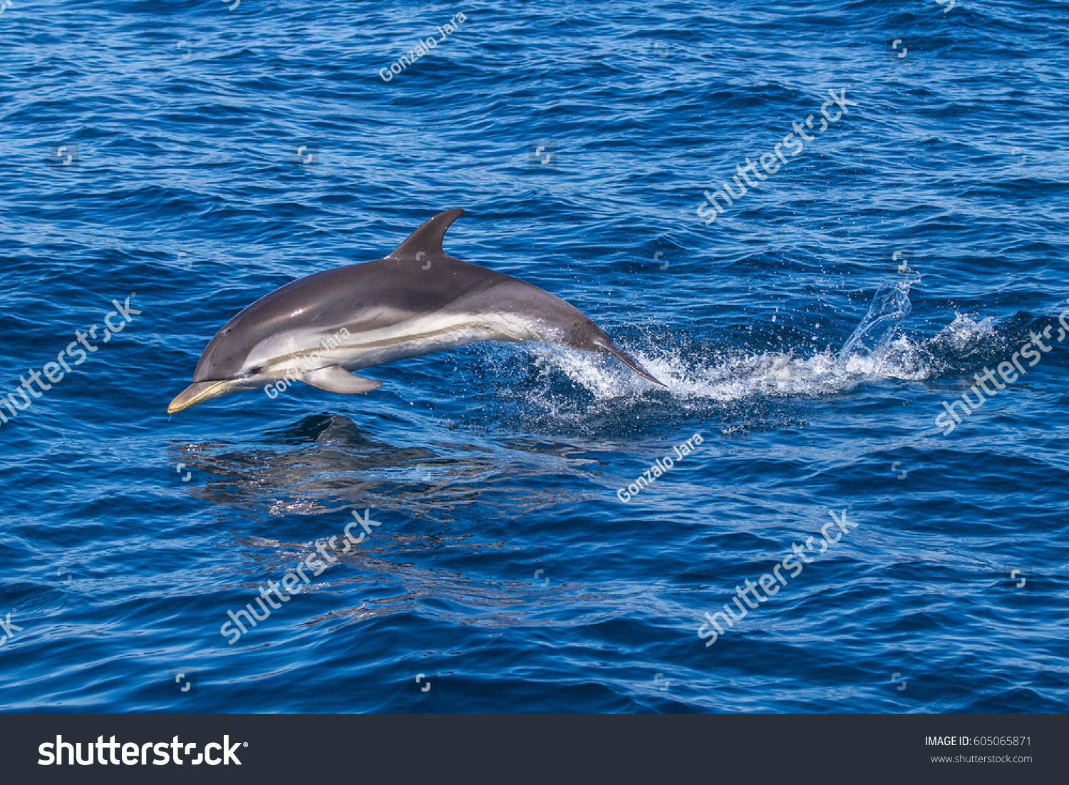 jumping wild free striped dolphin stenella stock photo edit now