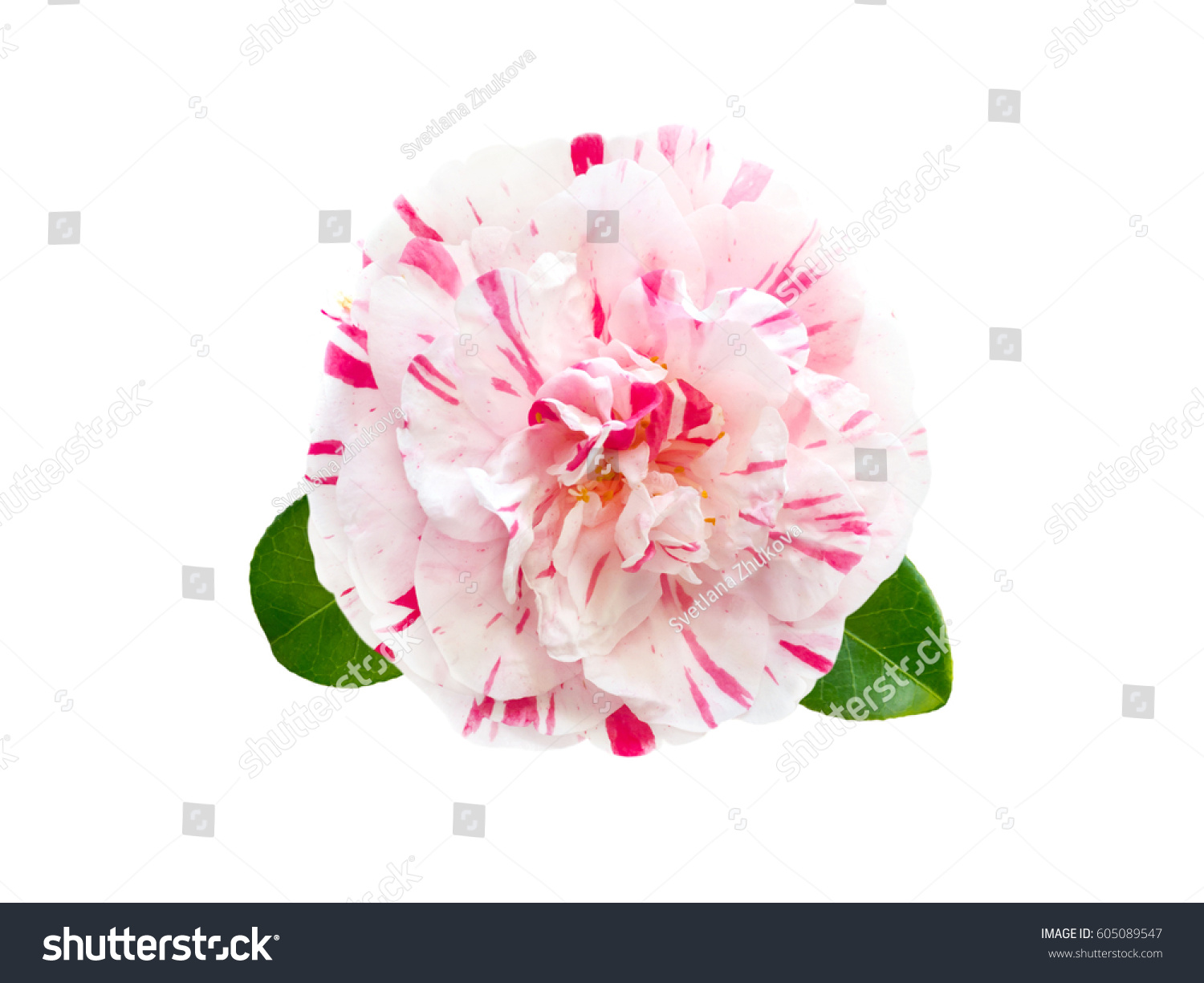 White Pink Striped Camellia Formal Double Stock Photo Edit Now