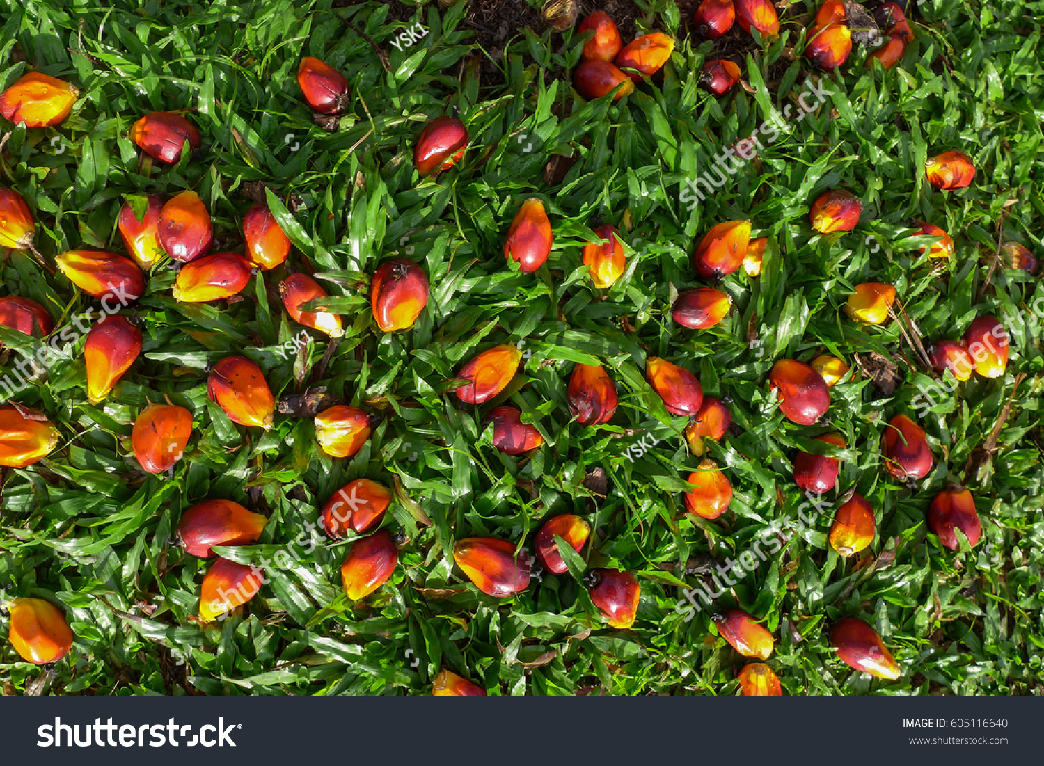 Palm Oil Trees Fruits Has Many Stock Photo (Edit Now) 605116640