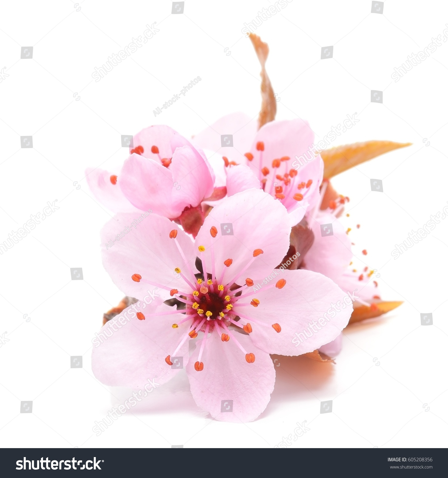 Cherry blossom pink sakura flower isolated stock photo 605208356 cherry blossom pink sakura flower isolated in white background dhlflorist Images