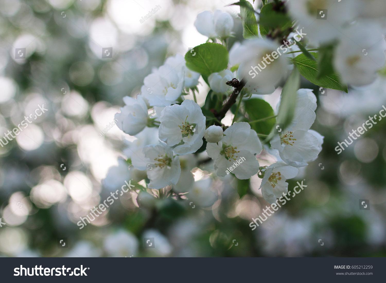Flowering Apple Tree Bright White Flowers Stock Photo Royalty Free