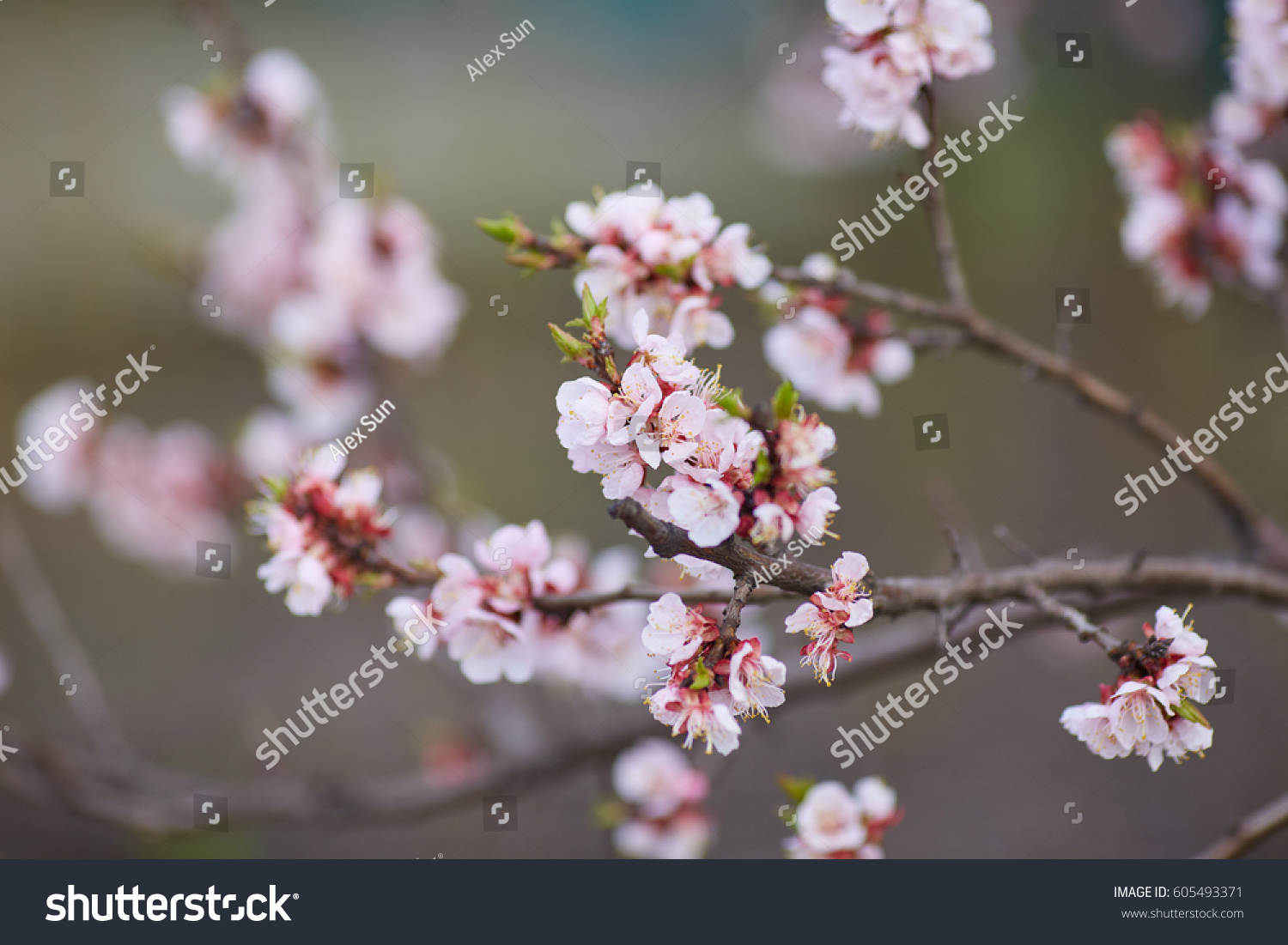 Malus Pumila Natural Lovely Pink Fragrant Stock Photo Edit Now