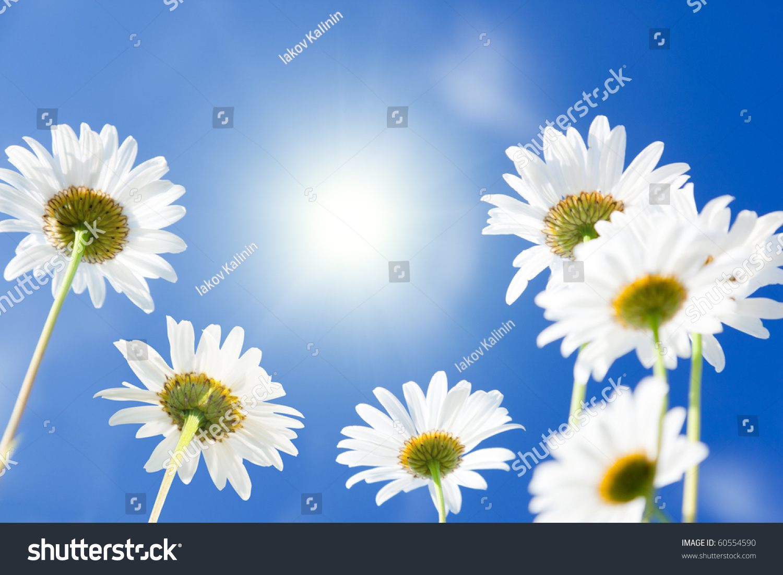 Daisy flowers stock photo edit now 60554590 shutterstock daisy flowers izmirmasajfo