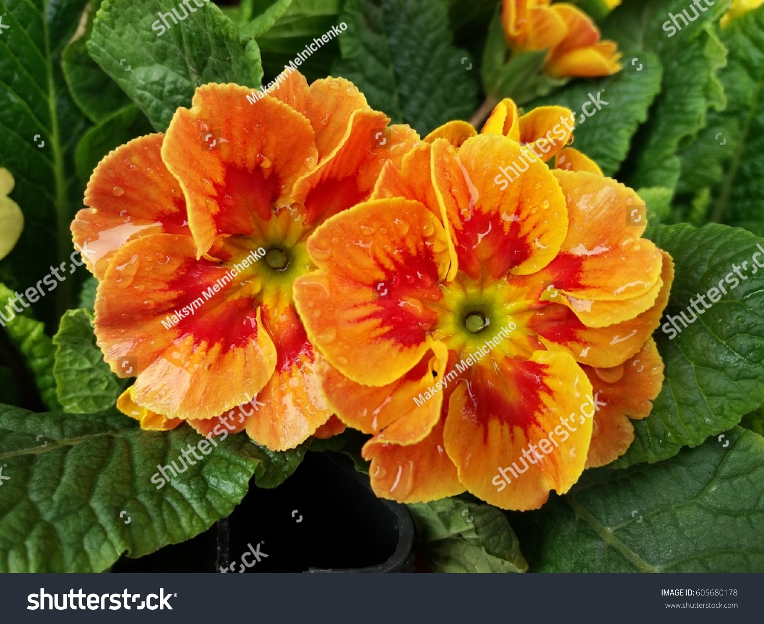 Yellow Orange Primrose Flowers After Rain Stock Photo Edit Now