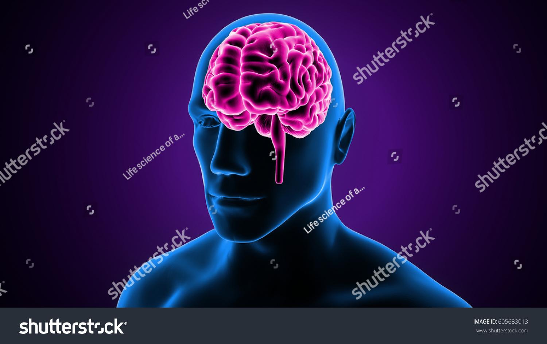 3 D Illustration Human Brain Anatomy Stock Illustration 605683013 ...