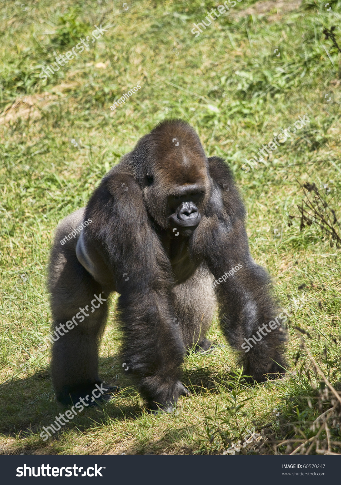 male silverback gorilla standing symbol power stock photo