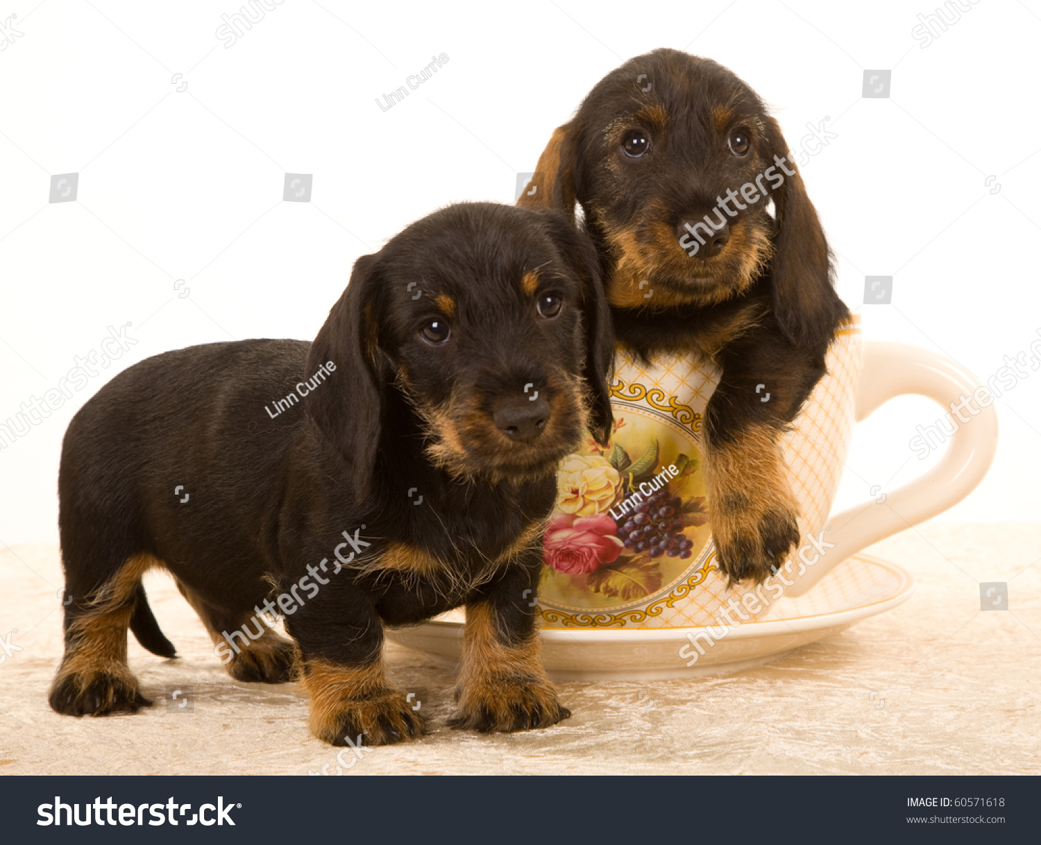 2 Cute Wire Haired Dachshund Puppies Stock Photo 60571618 ...