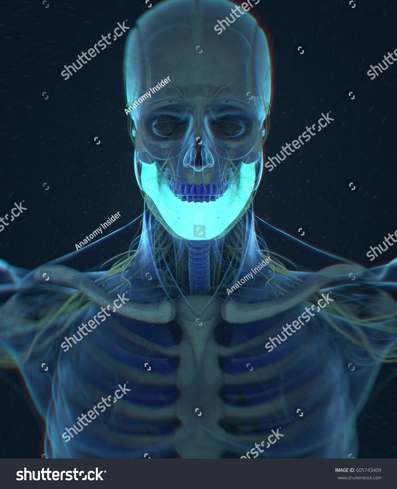 Jawbone Human Anatomy 3 D Illustration Stock Illustration Royalty