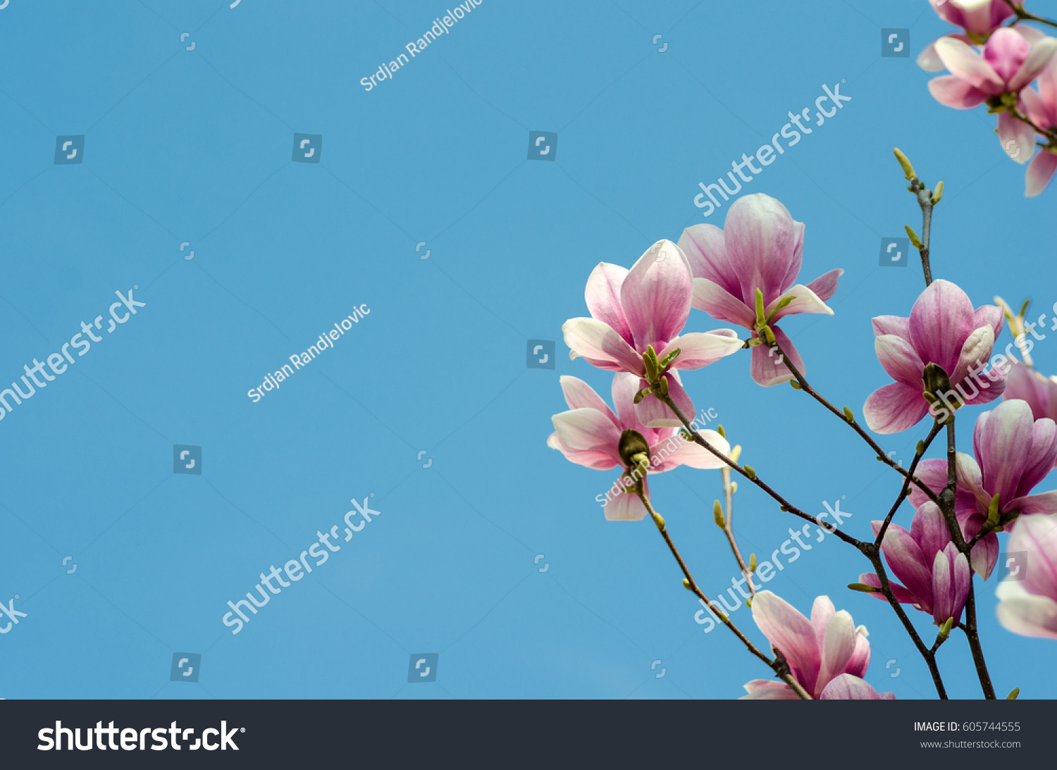 Beautiful purple magnolia flowers blossom spring stock photo 100 beautiful purple magnolia flowers blossom in the spring season on the tree with blue sky background izmirmasajfo
