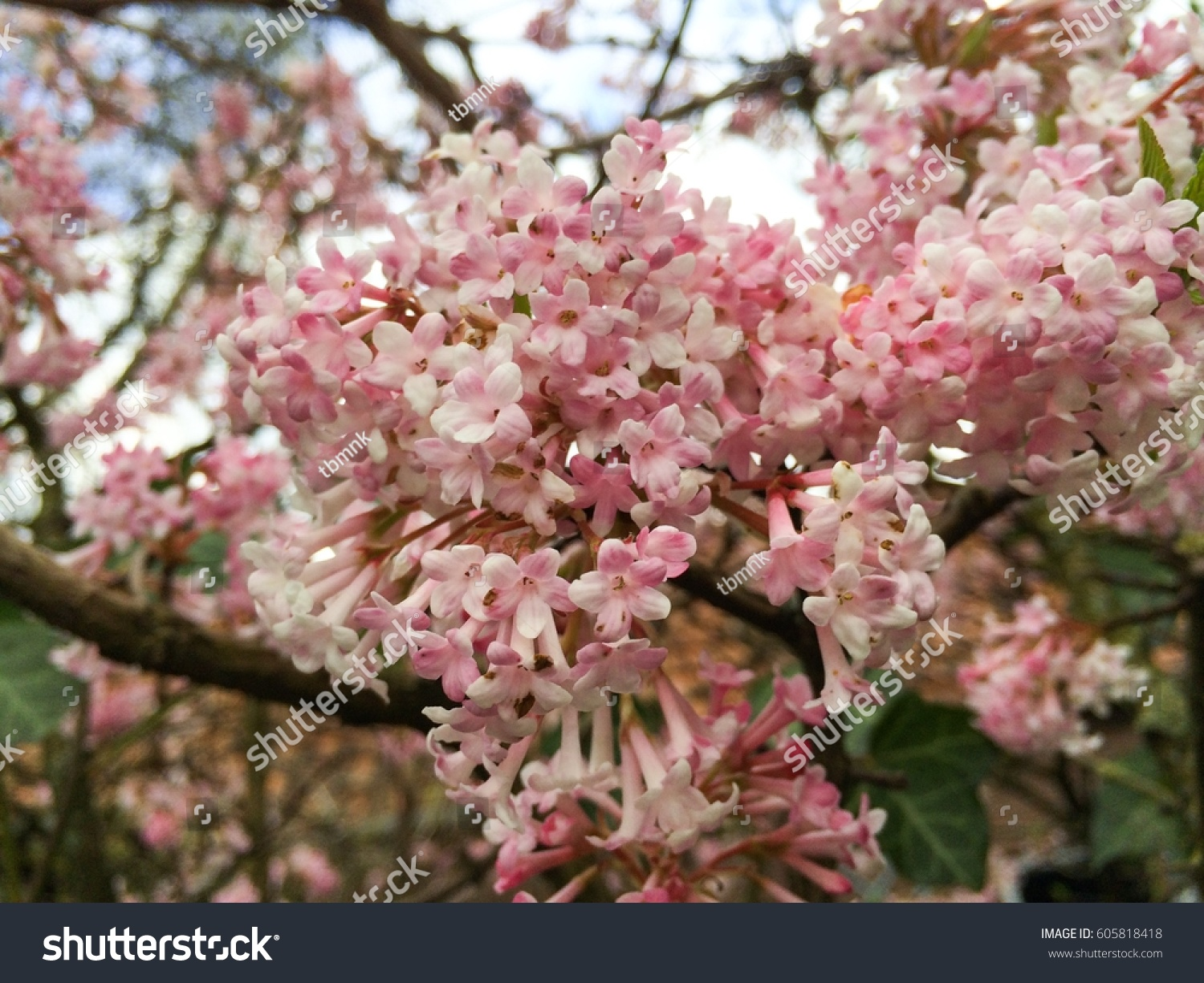 Pink White Flower In Spring Season With Blue Sky And White Clouds In
