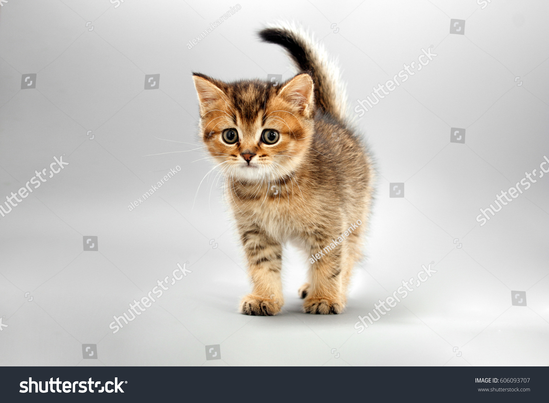 Little Cute Funny Kittens Gray Stock Shutterstock