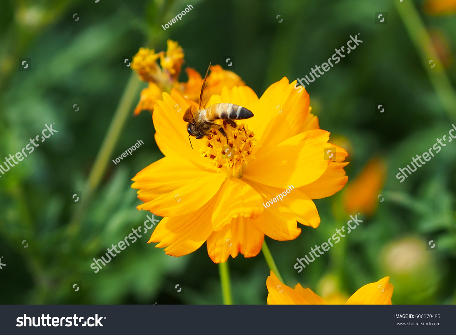Close Up Of Yellow Orange Cosmos Flower With A Bee At The Center