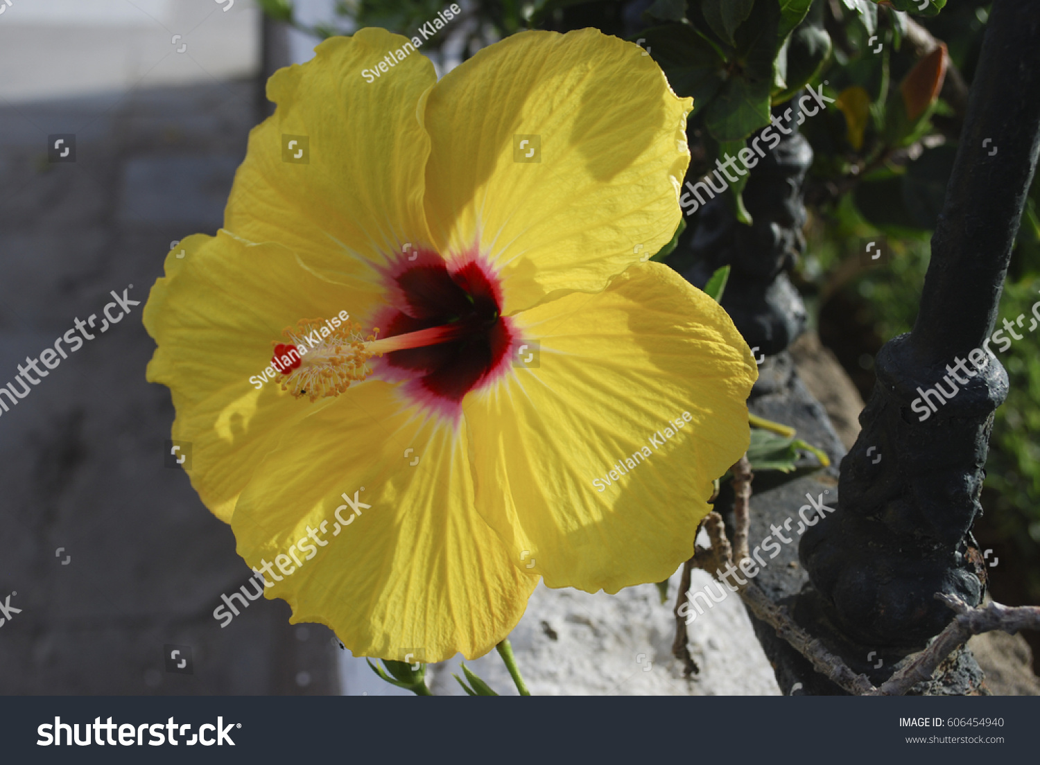 Hibiscus Yellow Flower Red Center Stock Photo Edit Now 606454940