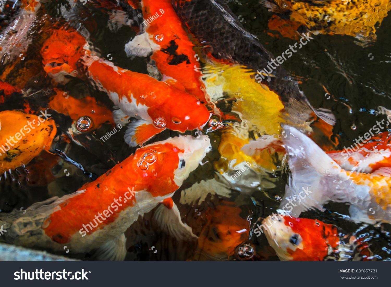 Fancy Carps Fish or Koi Carp swim in underwater the garden or ...