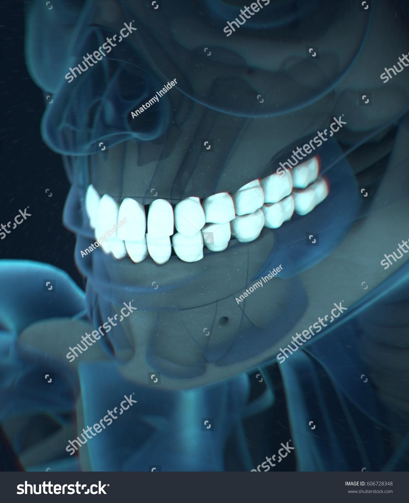 Teeth Xray Human Anatomy Dental 3 D Stock Illustration 606728348