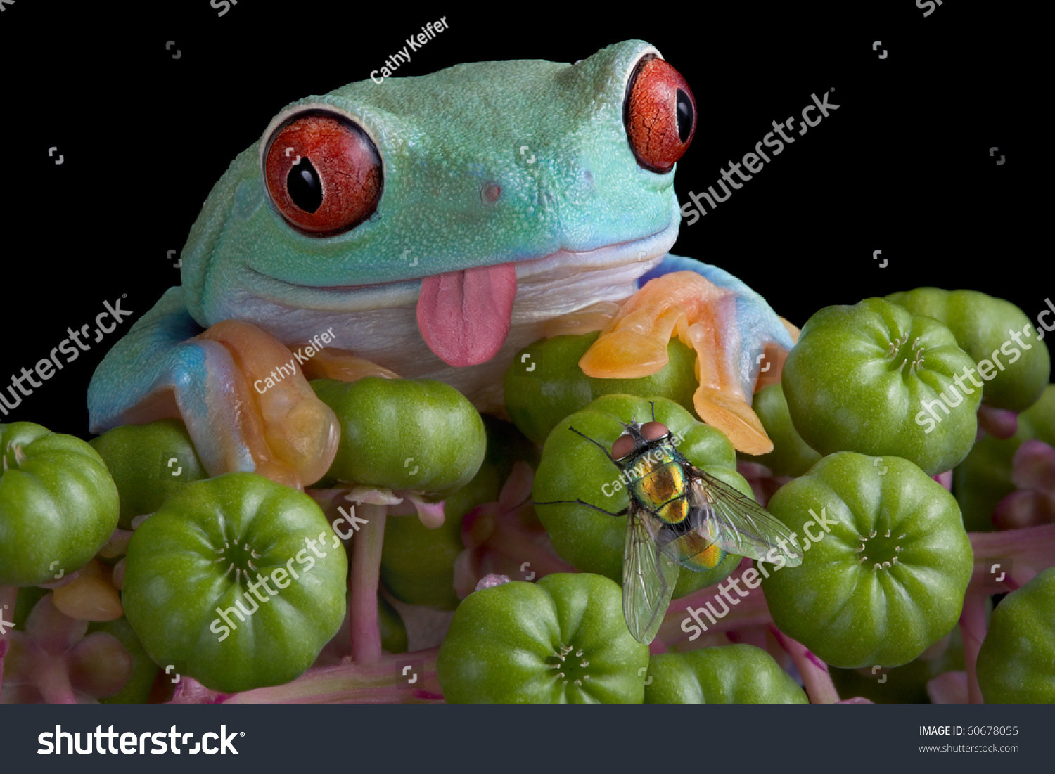 redeyed tree frogs tongue sticking out stock photo 60678055