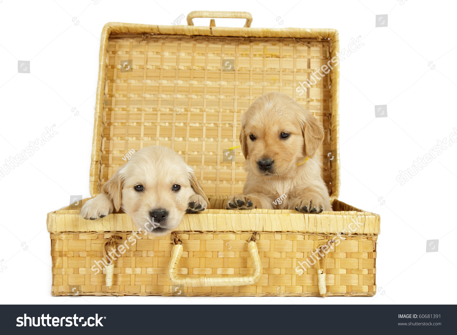 Golden retriever puppies in a wicker box