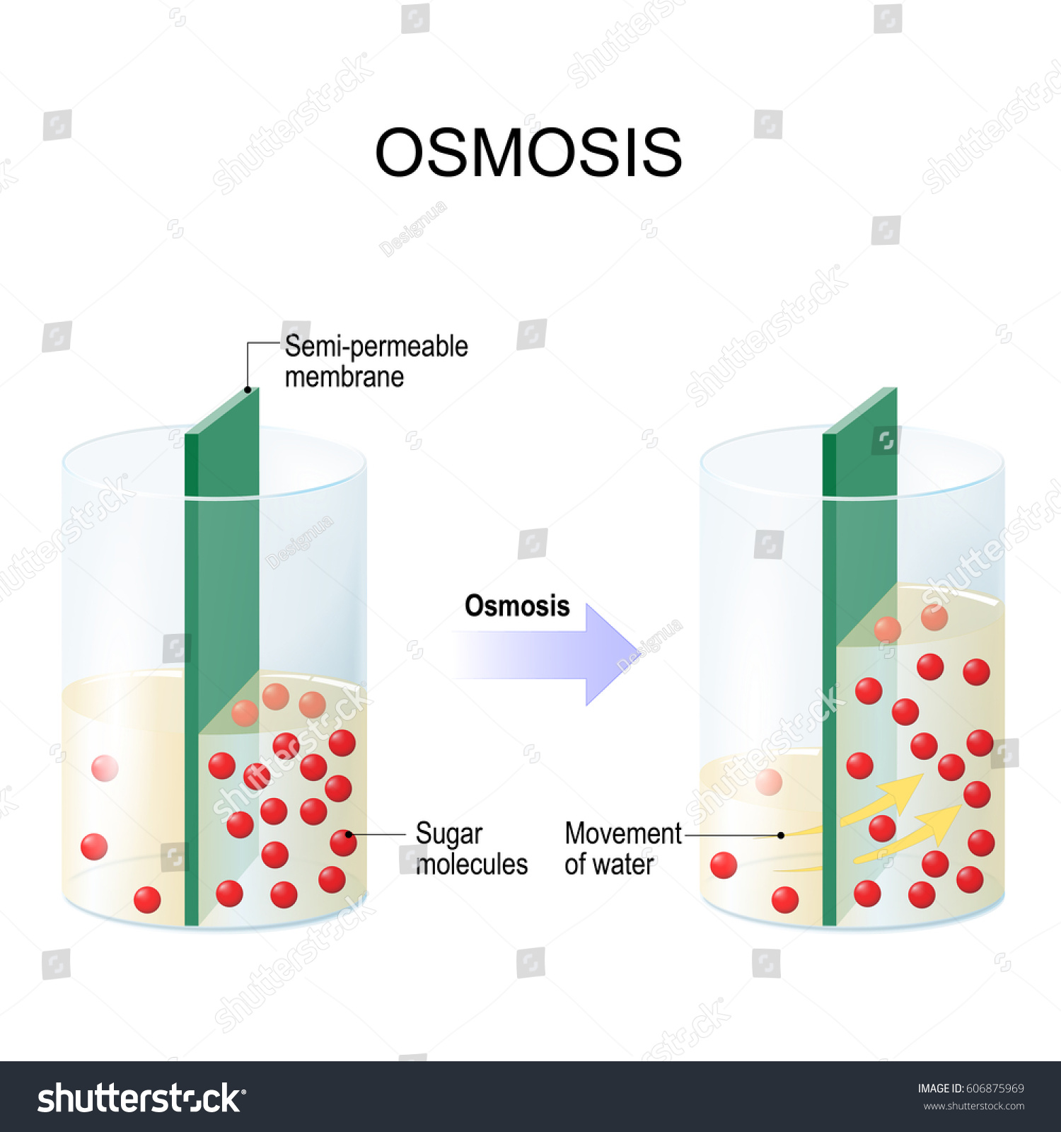biology osmosis observation Mr andersen gives a brief description of osmosis he explains how water moves from a hypotonic to a hypertonic solution across a semipermeable membrane.