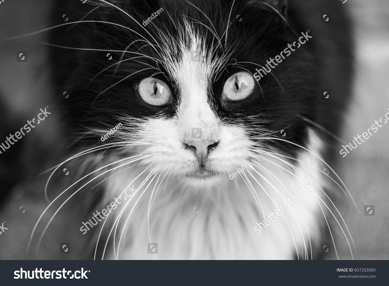 Black White Monochrome Portrait Street Cat Stock Photo Edit Now 607203080