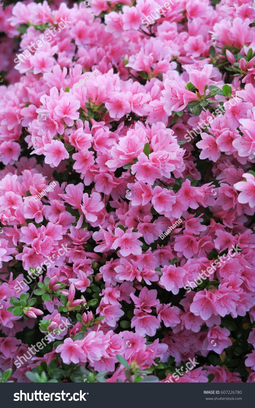 Pink Azalea Flower Japanese Tsutsuji Texture Stock Photo Royalty