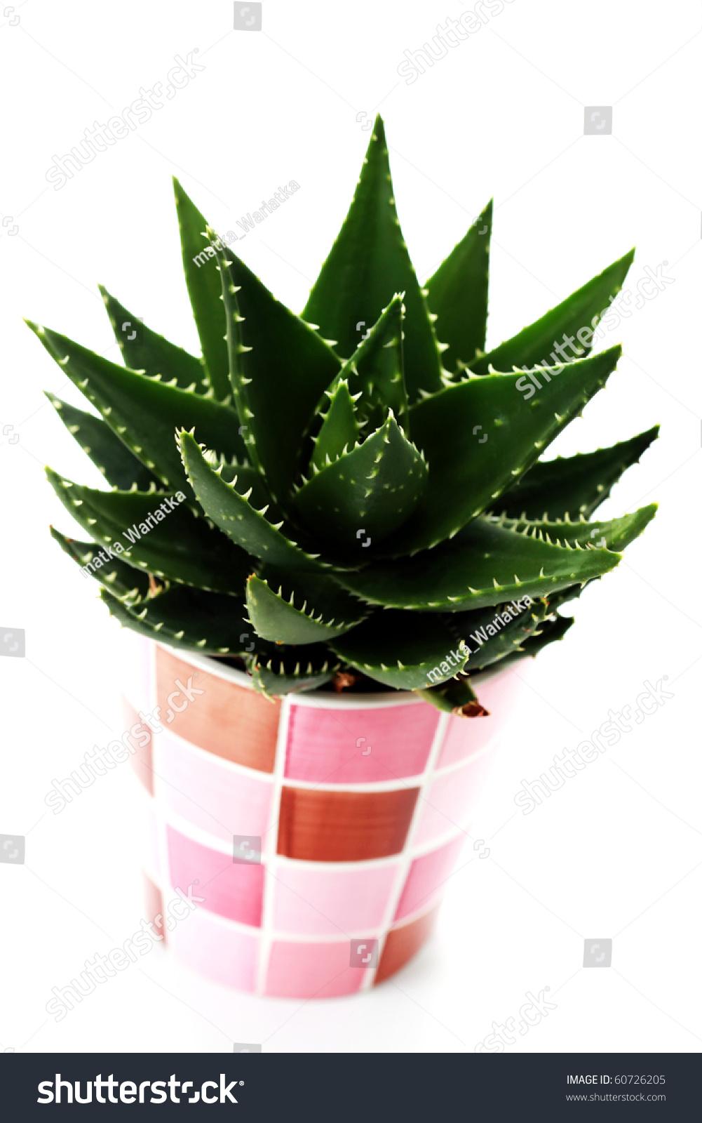 closeups aloe vera plant on white stock photo 60726205 shutterstock. Black Bedroom Furniture Sets. Home Design Ideas