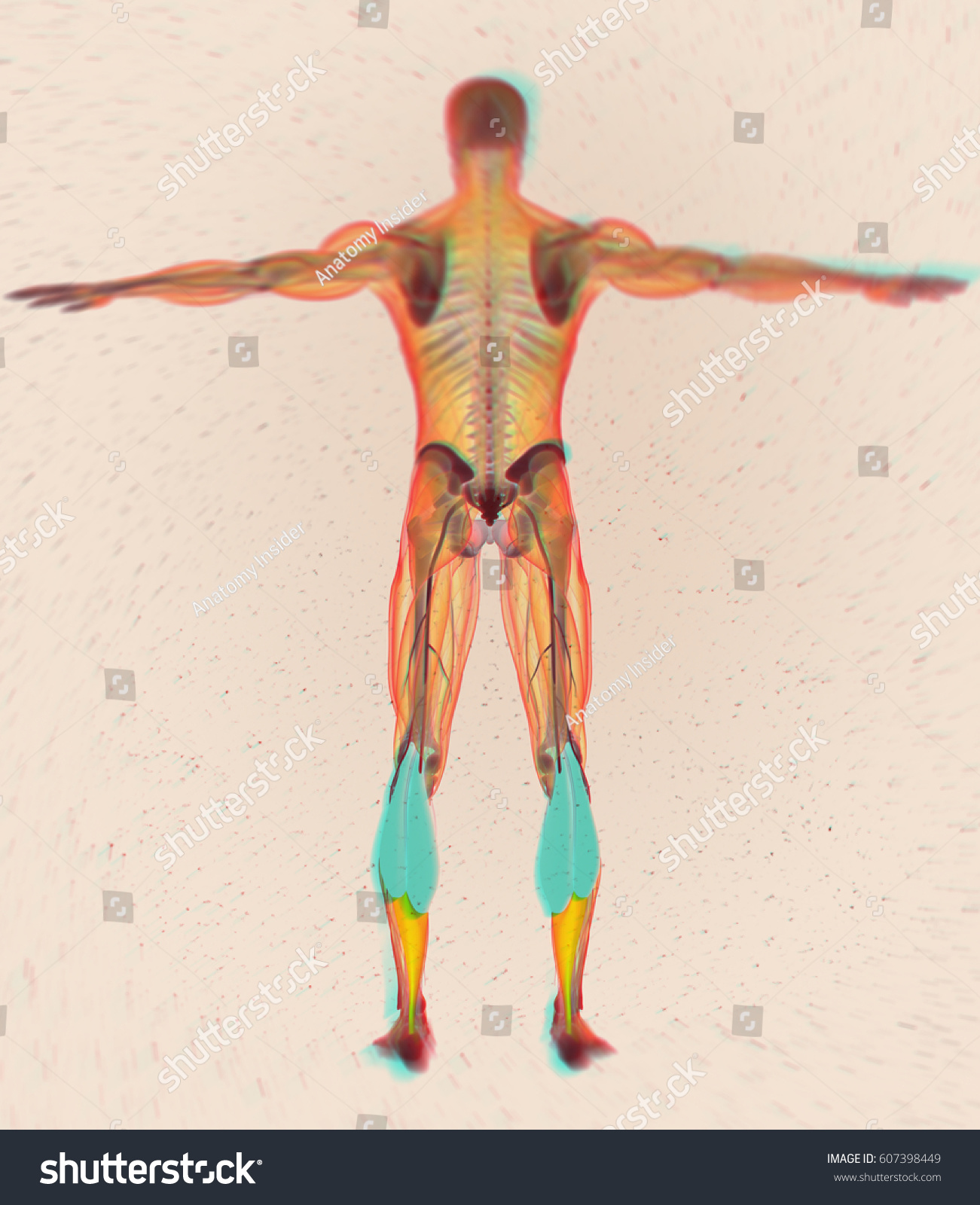 Calf Muscles Human Anatomy Gastrocnemius 3 D Stock Illustration ...