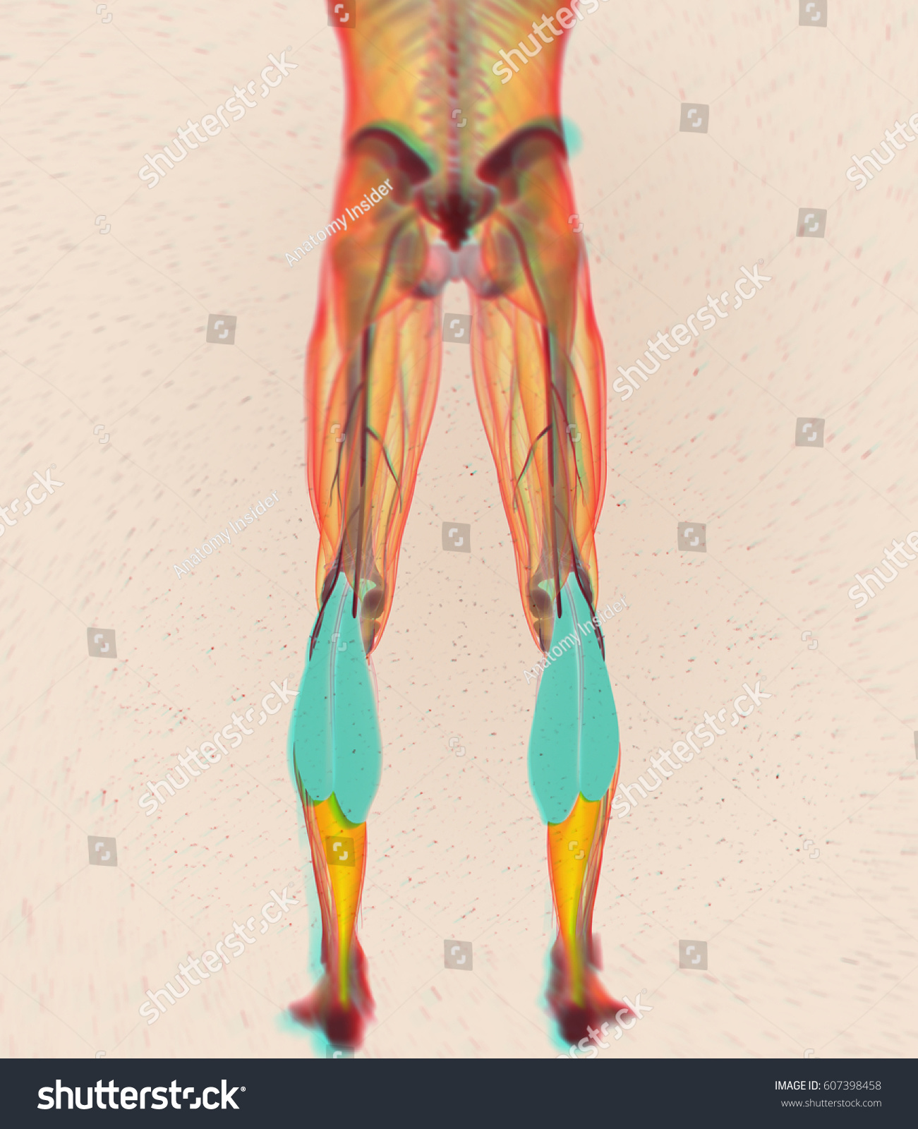 Royalty Free Stock Illustration Of Calf Muscles Human Anatomy