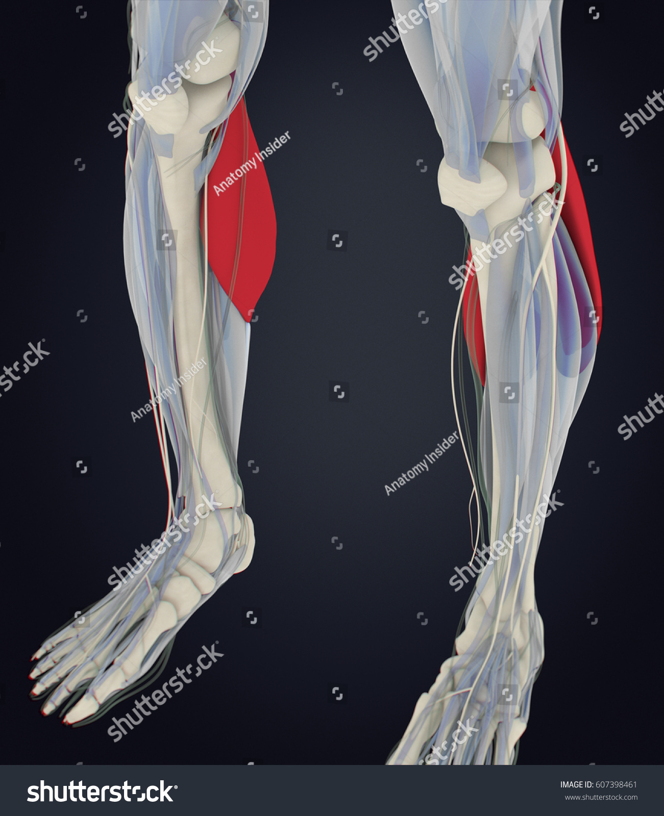 Calf Muscles Human Anatomy Gastrocnemius 3 D Stock Illustration