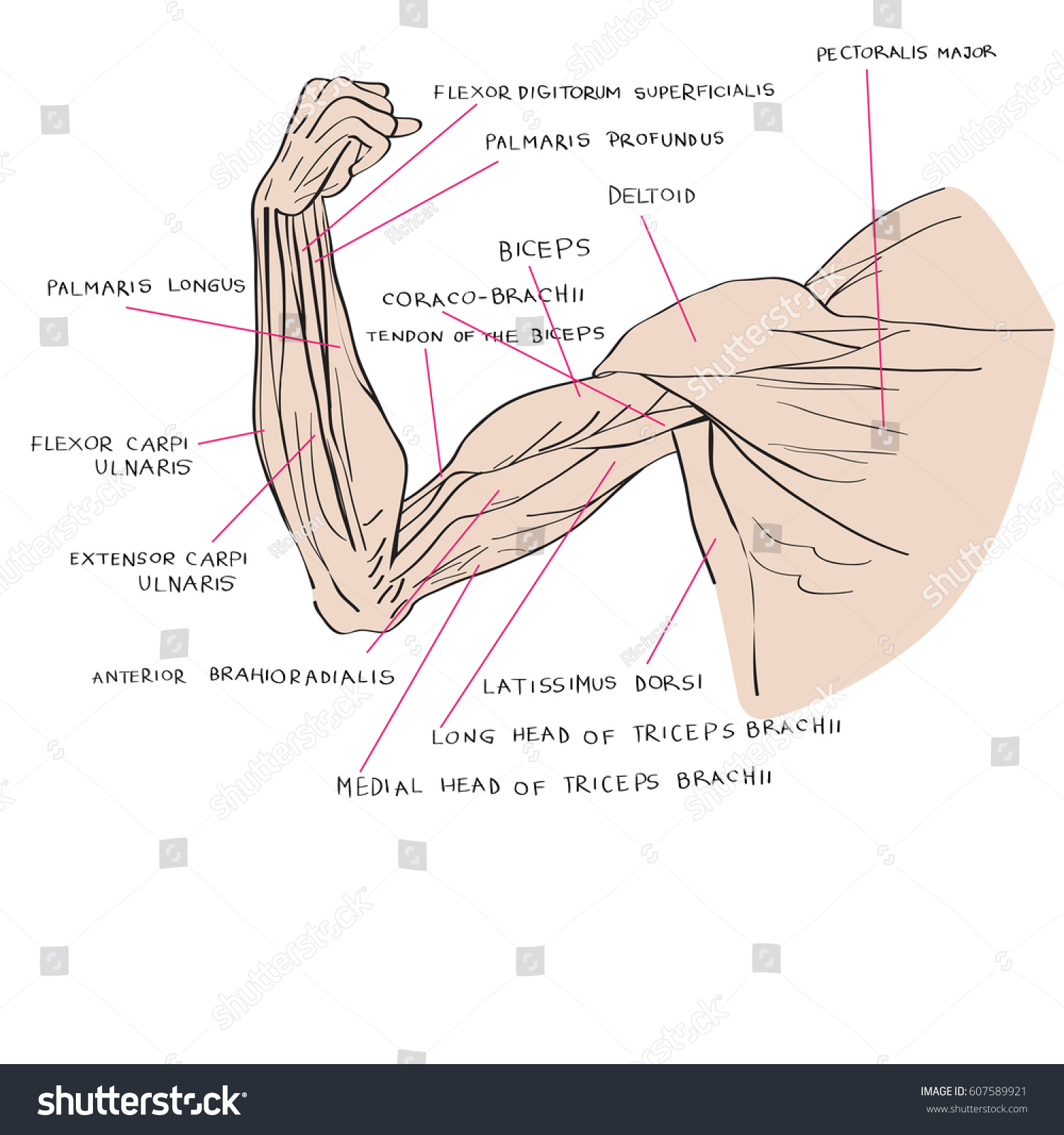 Hand Drawn Illustration Arm Muscles Artistic Stock Illustration ...