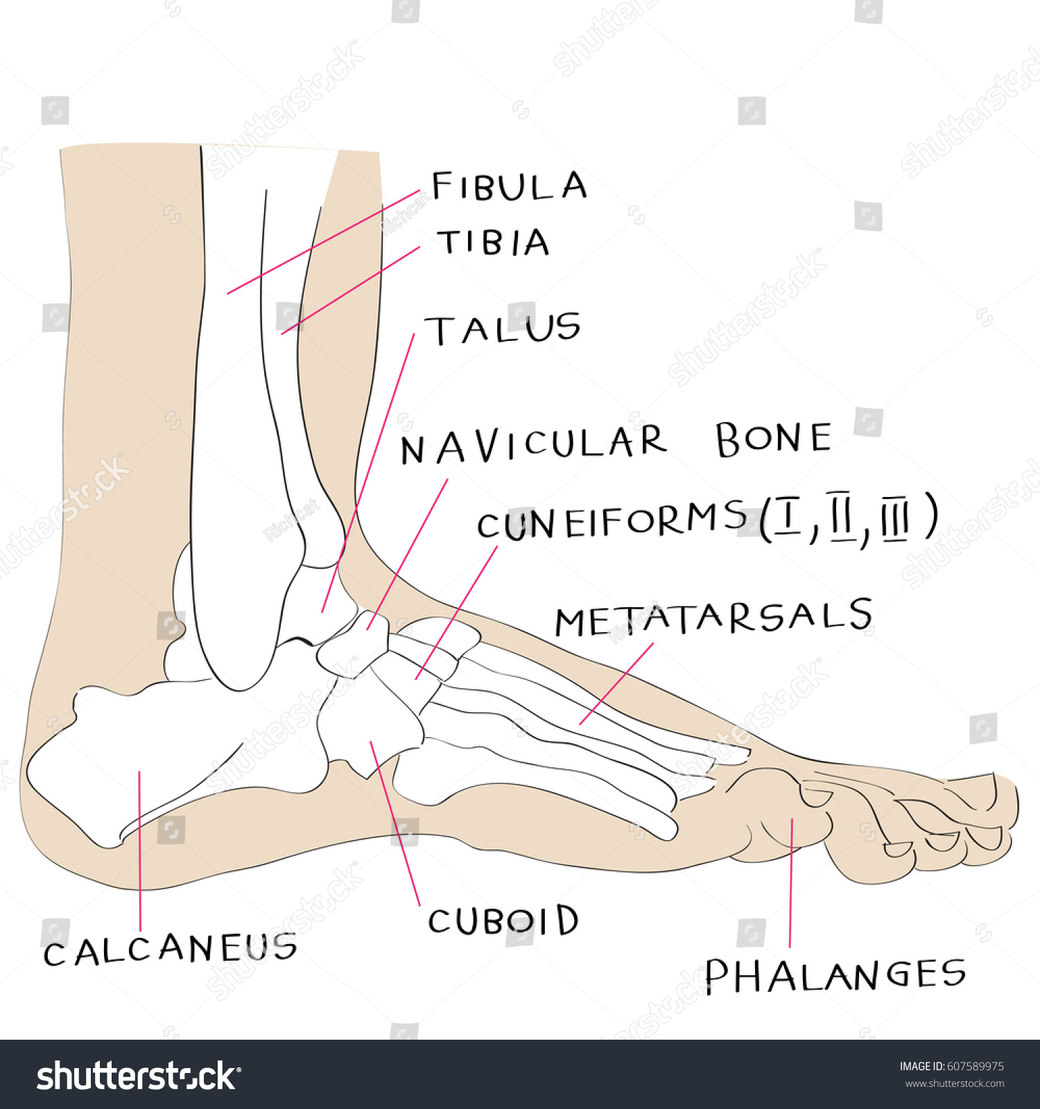 Hand Drawn Illustration Foot Bones Isolated Stock Illustration ...