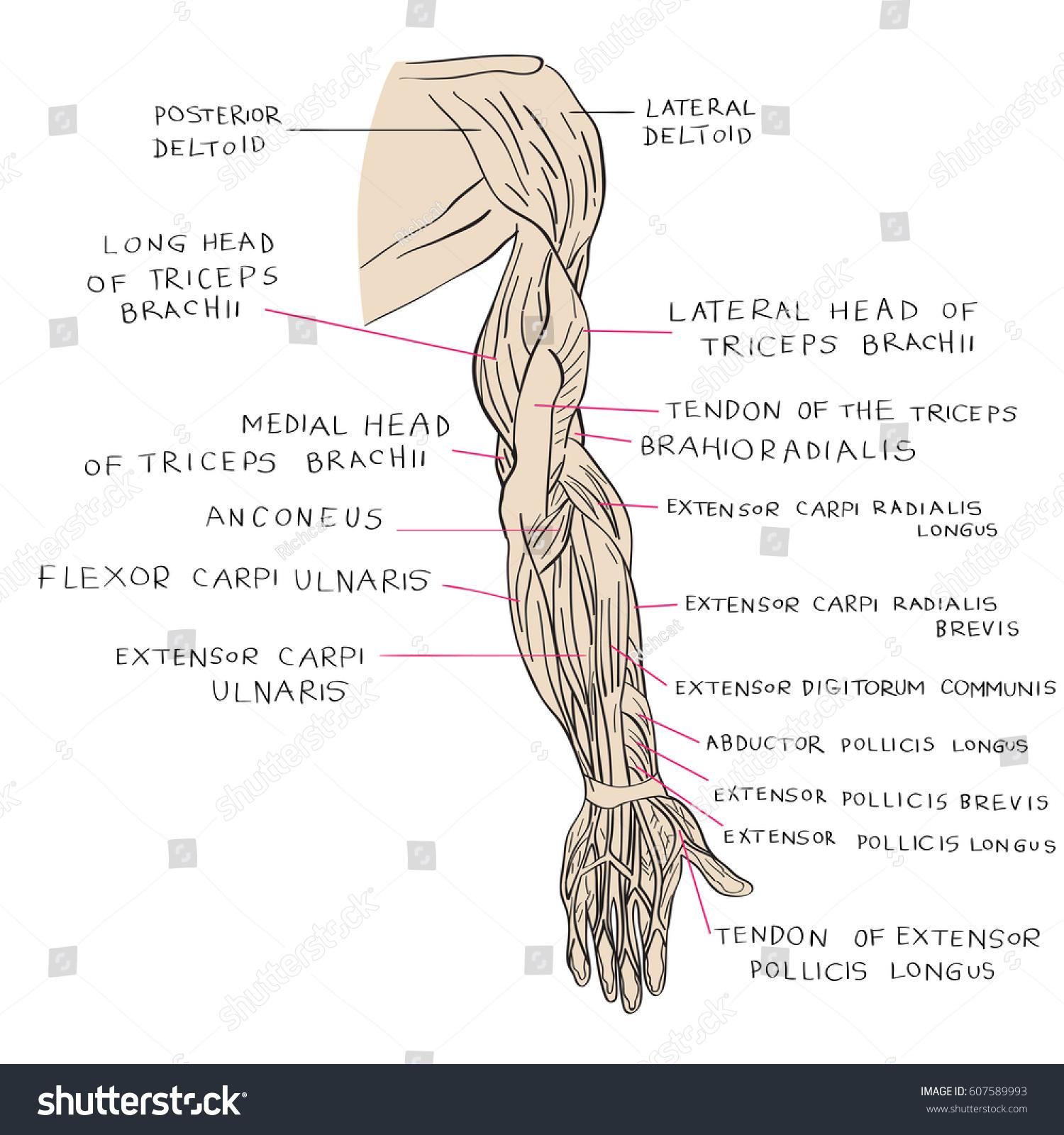 Hand Drawn Illustration Arm Muscles Artistic Stock Illustration