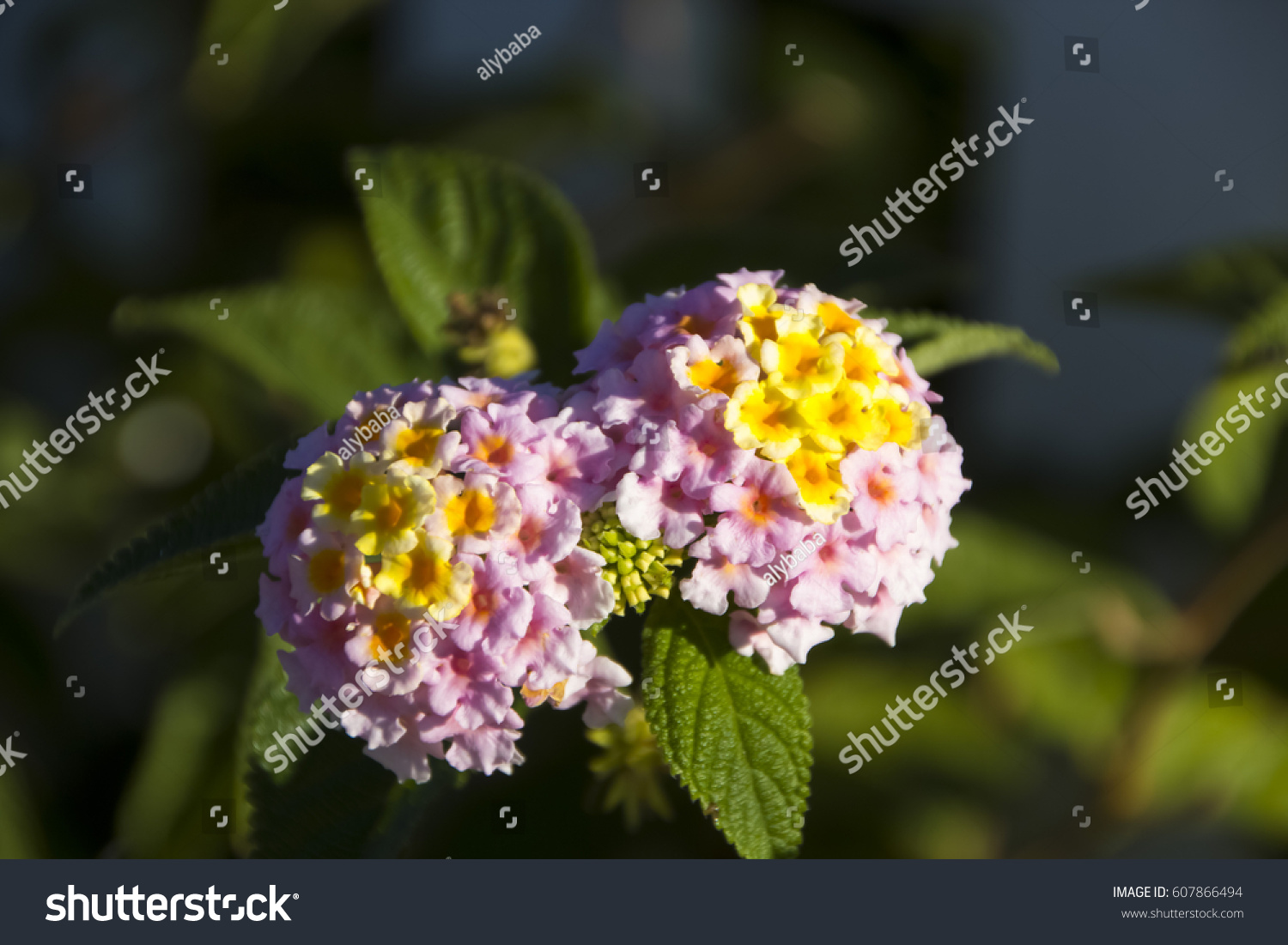 Lantanas Aromatic Flower Clusters Umbels Mix Stock Photo Royalty