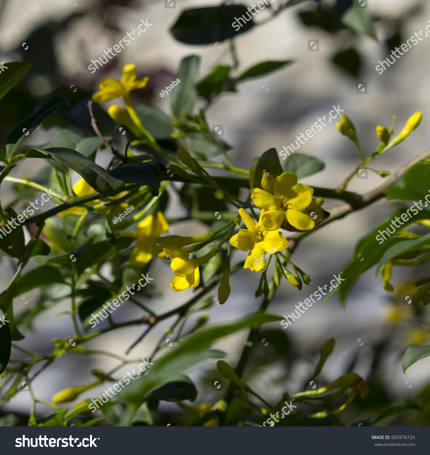 Fragrant Buttercup Yellow Flowers Carolina Jasmine Stock Photo Edit