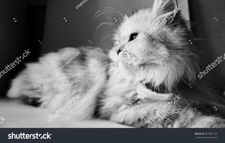 Portait White Persian Cat Black White Stock