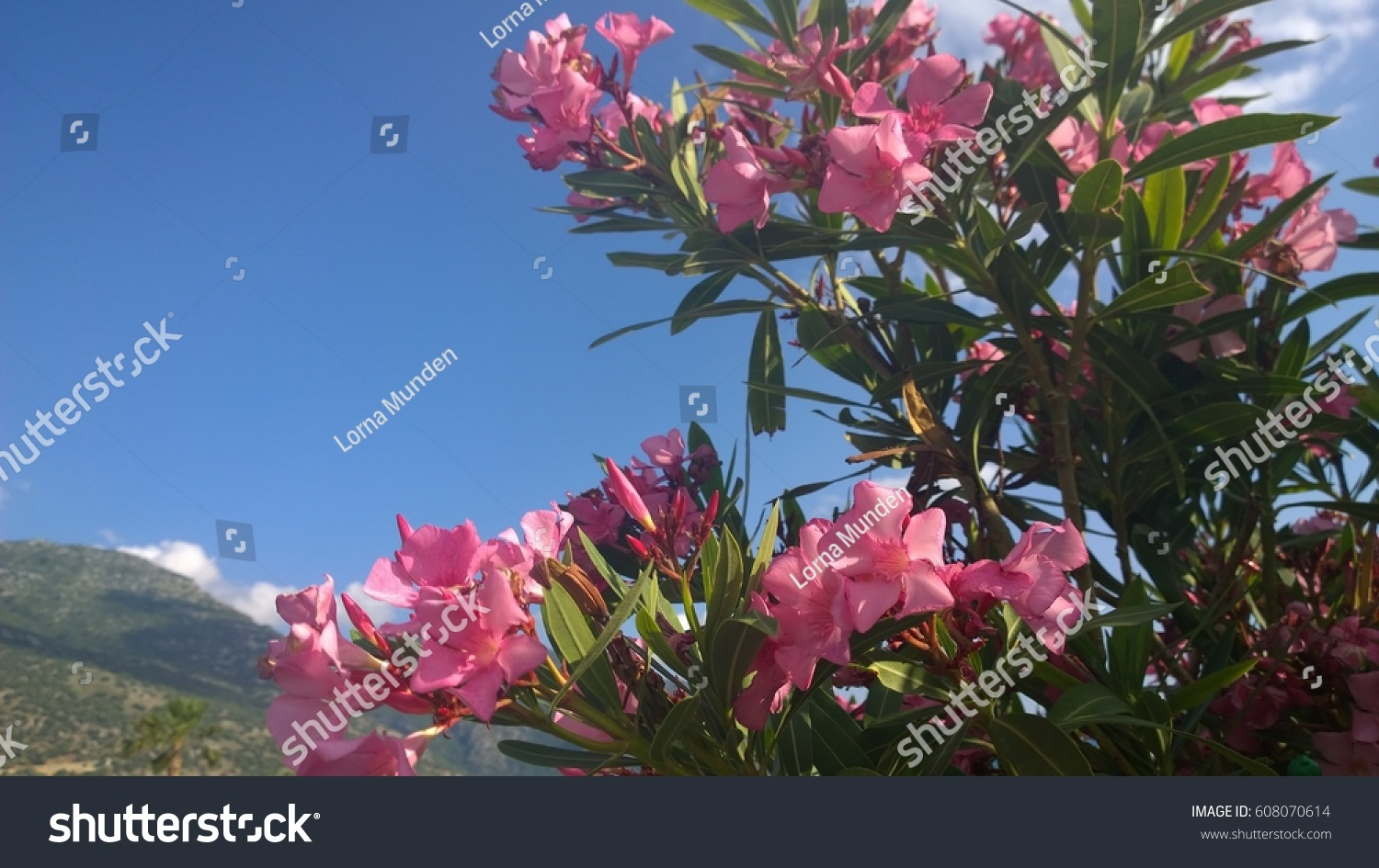Pink Oleander Flowers Turkey Stock Photo Edit Now 608070614