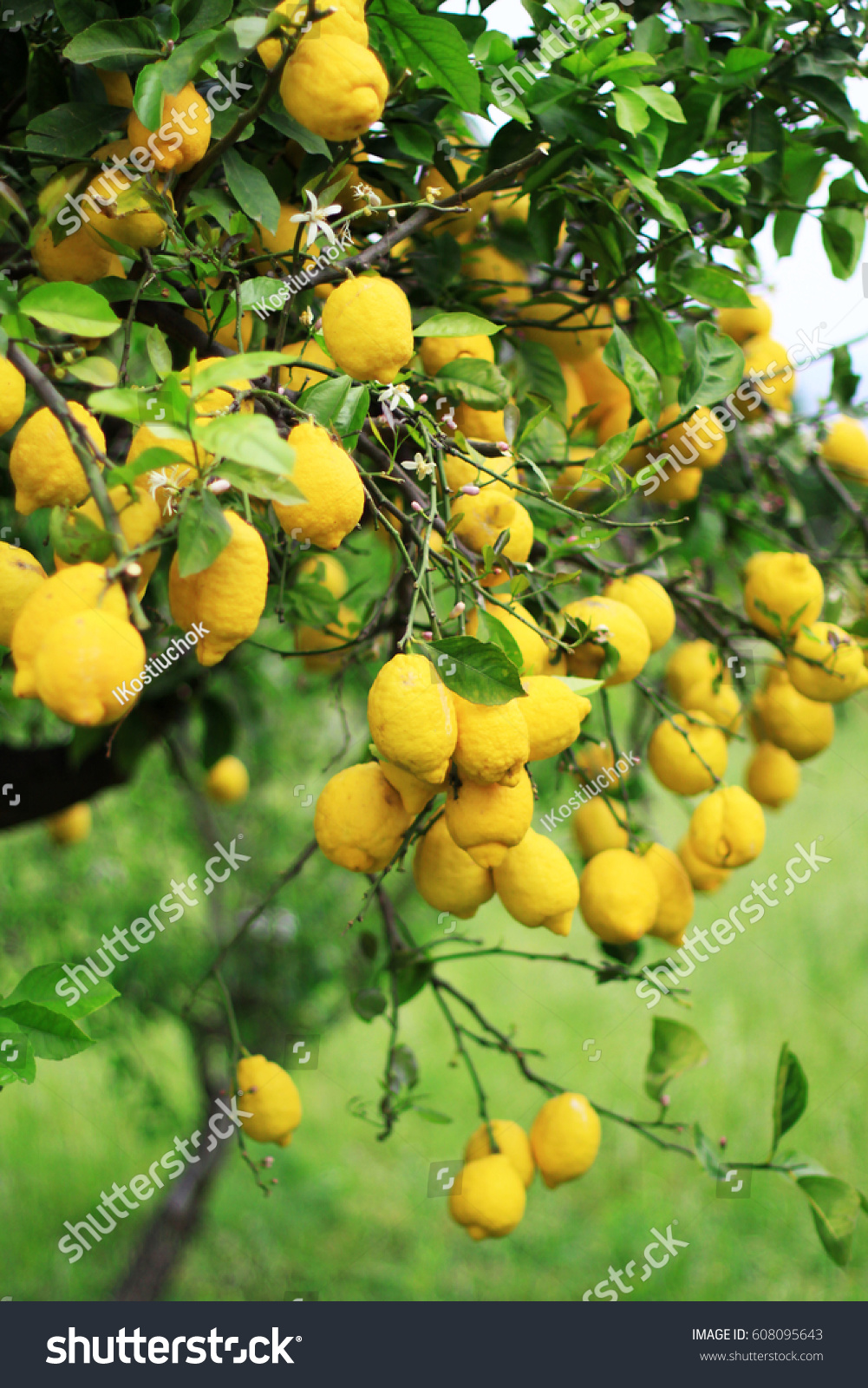 Big yellow lemons on green tree stock photo royalty free 608095643 big yellow lemons on green tree stock photo royalty free 608095643 shutterstock mightylinksfo
