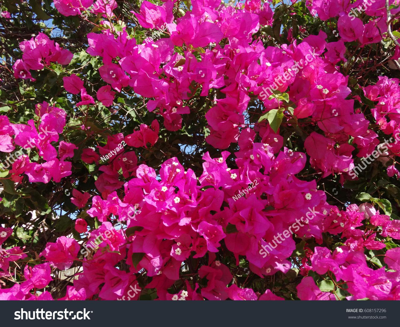 Bougainvillaea red flowers bushes mediterranean floral background id 608157296 mightylinksfo