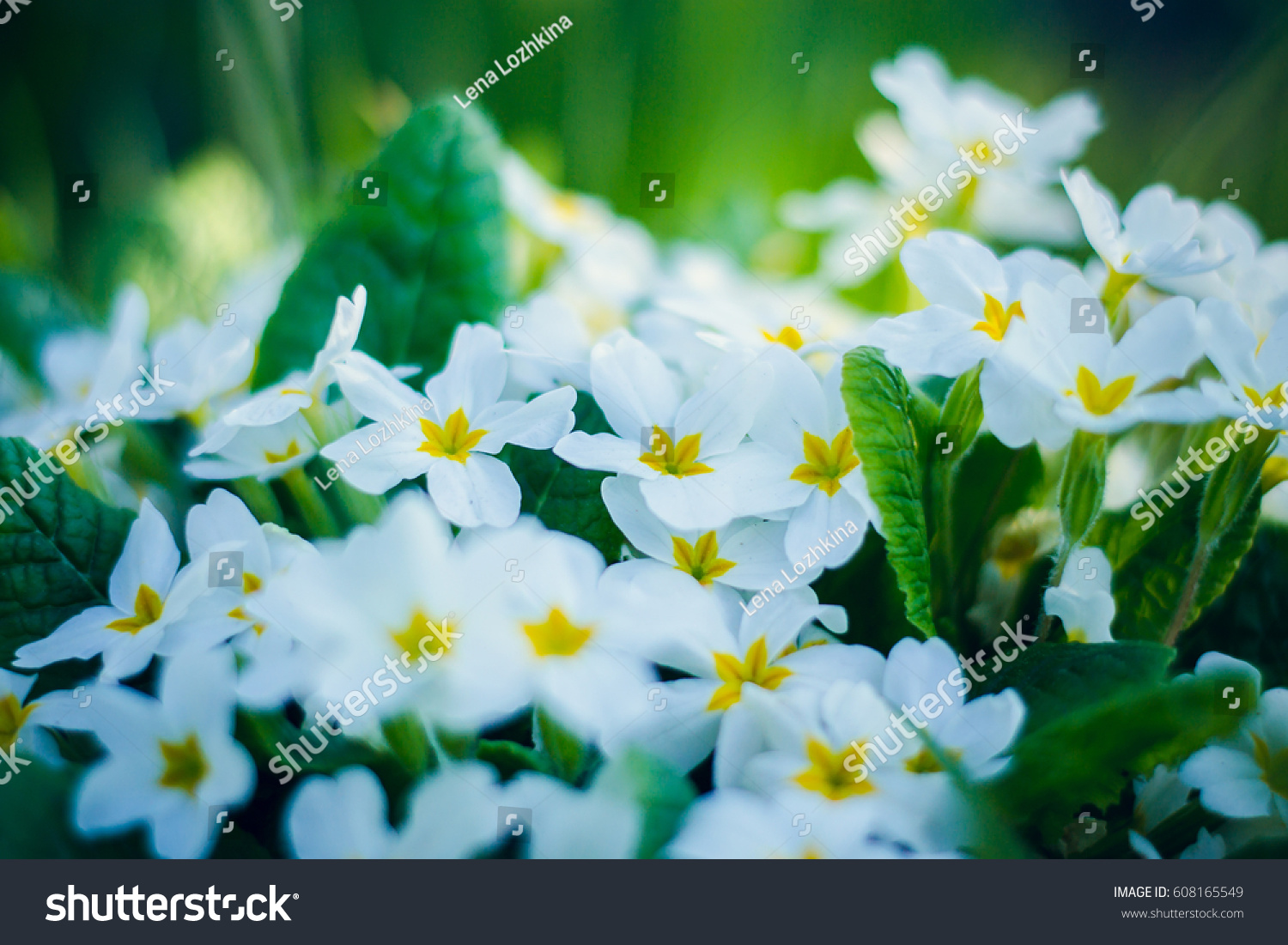 Royalty Free White Flowers Primula With Yellow Center 608165549