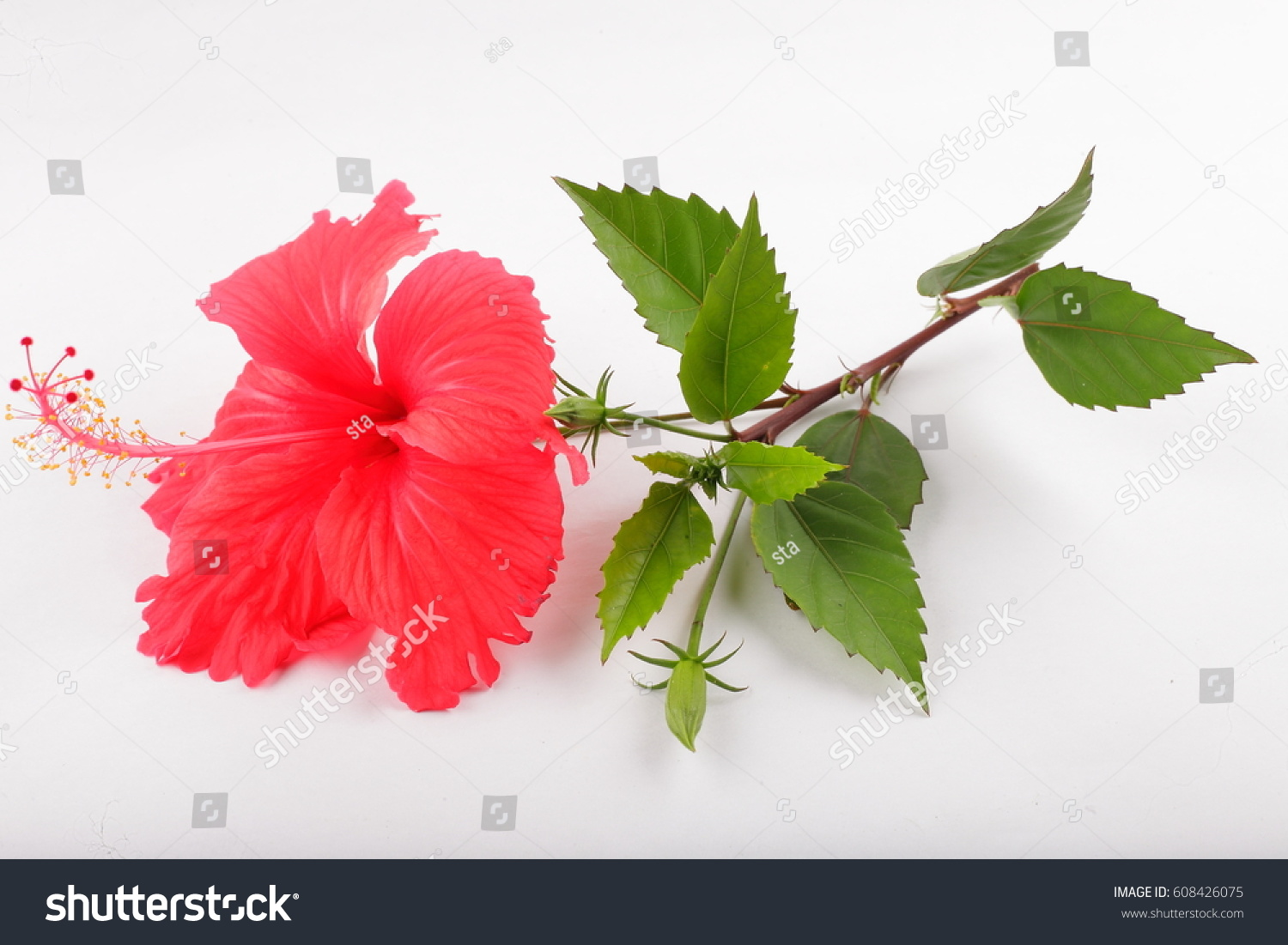 Tropical red hibiscus flower branch buds stock photo download now tropical red hibiscus flower in branch with buds in white background izmirmasajfo
