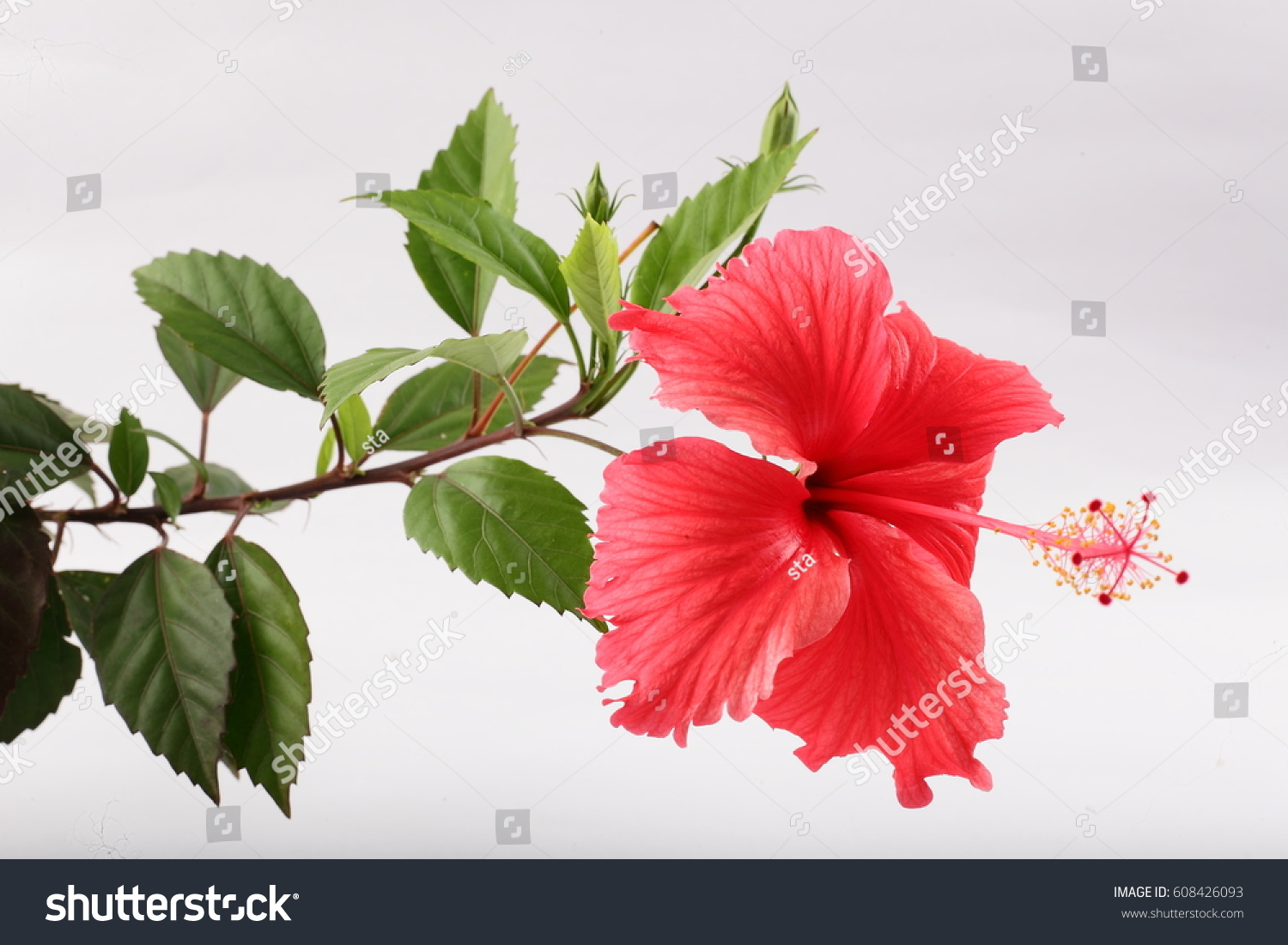 Tropical red hibiscus flower branch buds stock photo 100 legal tropical red hibiscus flower in branch with buds in white background izmirmasajfo